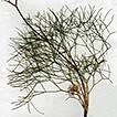A new subspecies of Peucedanum officinale ...