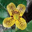 Oreocharis tetrapterus (Gesneriaceae), ...