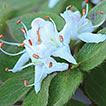 New taxa of Rhododendron tschonoskii ...