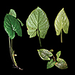 Two new species of Chlorospatha section ...