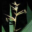 Schizostachyum dakrongense (Poaceae, ...