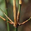 Khoonmengia honbaensis, a new genus and ...