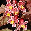Taxonomic studies on Begonia (Begoniaceae) ...