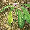 Paraphlomis kuankuoshuiensis (Lamiaceae), ...