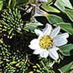 Two new species of the Andean genus Xenophyllum ...