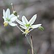 Xochiquetzallia (Asparagaceae, Brodiaeoideae), ...