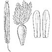 Eriocoma valdesii, a new species from ...