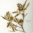 Two new species for Gochnatia Kunth (Asteraceae, ...