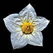 Solanum hydroides (Solanaceae): a prickly ...