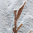 """Eocene """"Chusquea"""" fossil from Patagonia is  ..."""