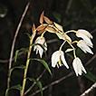 Dilochia deleoniae (Orchidaceae), a new ...