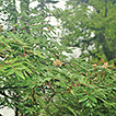 Sorbus gongshanensis (Rosaceae), a new ...