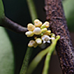 A new species of Dischidia (Apocynaceae, ...