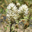Revision of Fothergilla (Hamamelidaceae), ...