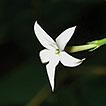 Jasminum parceflorum (Oleaceae), a new ...