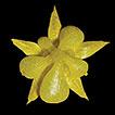 Sedum formosanum subsp. miyakojimense ...
