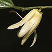 From Polyalthia to Polyalthiopsis (Annonaceae): ...