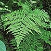 Athyrium bipinnatum K.Hori (Athyriaceae), ...