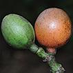 Gnetum chinense, a new species of Gnetaceae ...