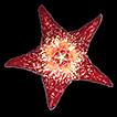 Heterostemma cucphuongense (Apocynaceae, ...
