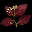 Loxostigma puhoatense (Gesneriaceae), ...