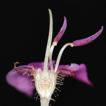 A new species of Bredia (Sonerileae, ...