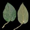 Taxonomic studies on the genus Isotrema ...