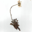On the Leucanthemopsis alpina (L.) Heywood ...