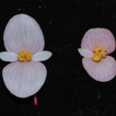 Begonia guangdongensis, a new species ...