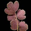 Pternopetalum paucifoliolatum (Apiaceae), ...