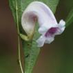 Strobilanthes sunhangii (Acanthaceae), ...