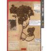Typification of Juniperus pingii W.C.Cheng ...