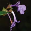 Rediscovery of Mazus lanceifolius reveals ...