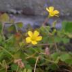 Hybridization of Oxalis corniculata and ...