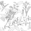 Two new species of Otoba (Myristicaceae) ...
