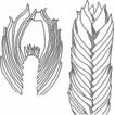 Revision of Gymnomitriaceae (Marchantiophyta) ...