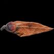 Taxonomic Identity of Carpinus dayongina ...