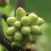 Artabotrys pachypetalus (Annonaceae), ...