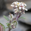 Smelowskia sunhangii (Brassicaceae), ...