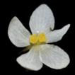 Begonia shenzhenensis, a new species ...