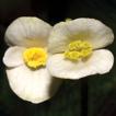 Begonia catbensis (sect. Coelocentrum, ...