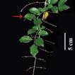 Taxonomic revision of Sageretia (Rhamnaceae) ...