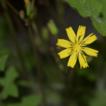 Youngia hangii (Asteraceae, Crepidinae), ...