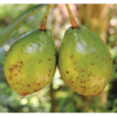 Big fruits with tiny tepals: An unusual ...