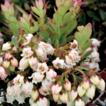 Vaccinium exiguum (Ericaceae, Vaccinieae), ...