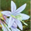 Validation of Hosta alata (Asparagaceae) ...