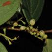 Vaccinium motuoense (Ericaceae), a new ...