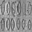 Description of four new terrestrial diatom ...