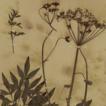 Cyclorhiza puana (Apiaceae), a new species ...