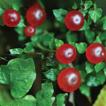 Re-appraisal of Nertera (Rubiaceae) in ...